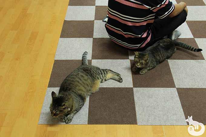 寝ているキジトラ猫たち