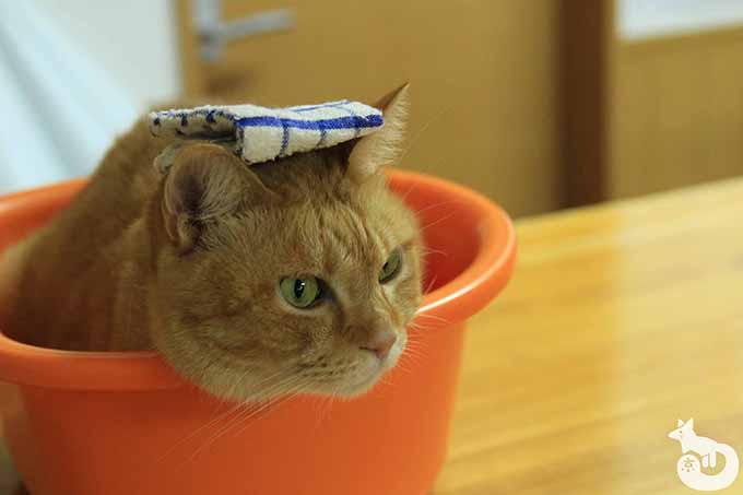 タオルを乗せた猫