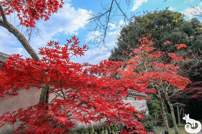 勝持寺 深紅の紅葉