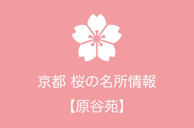 原谷苑の桜情報|2019年の開花予想から例年の見頃時期まで