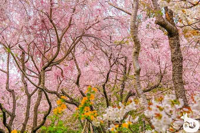 原谷苑へ桜を見に行ってきた|混雑状況や見どころを写真で紹介
