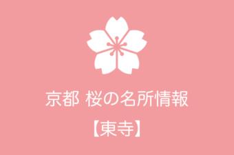 東寺の桜情報|2019年の開花予想から例年の見頃時期まで